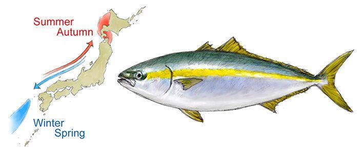 "Buri"": A Wintertime Culinary Delight | Nippon com"