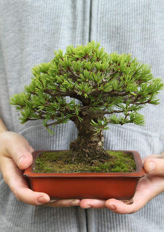 Bonsai: Nature in the Palm of Your Hand | Nippon.com