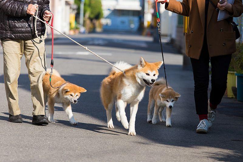 Japan's Most Famous Dog Breed: The Akita-inu   Nippon com