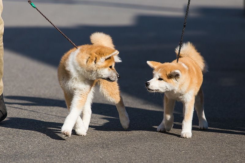 Japan's Most Famous Dog Breed: The Akita-inu | Nippon com