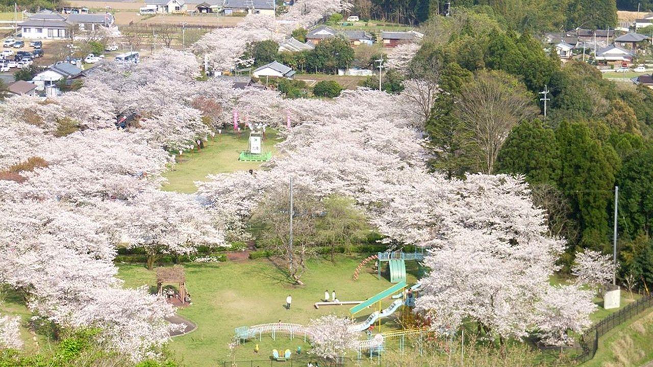 100 lugares para disfrutar de los cerezos en flor: el parque Mochio (Miyazaki)