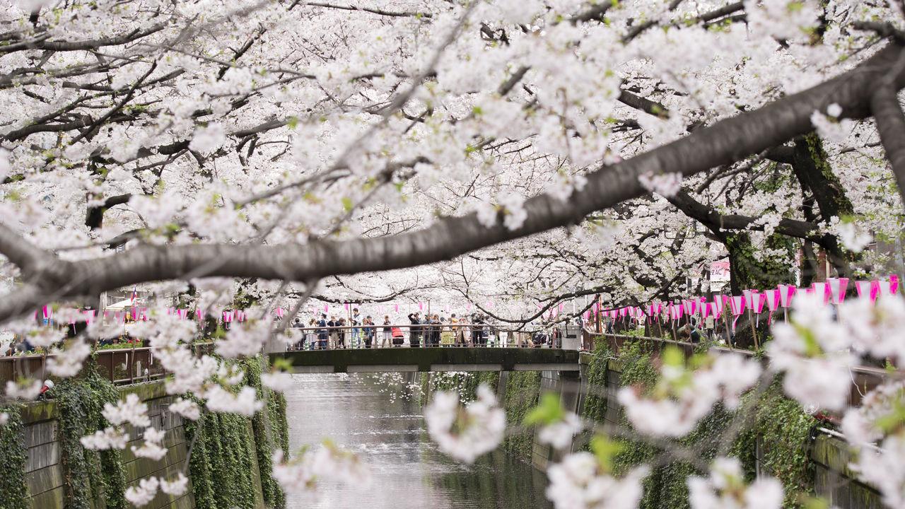 Arbol De Cerezo Japones vamos a ver los cerezos! los sabios consejos de un experto