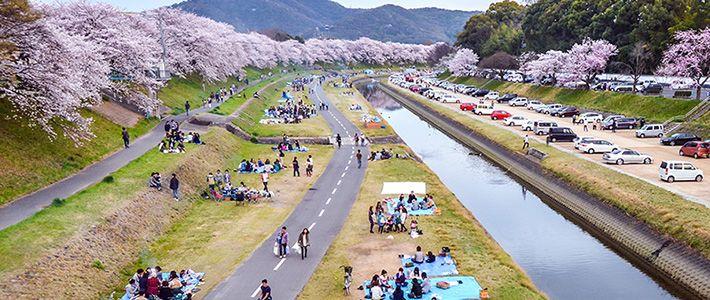 Hanami : Le Pique-nique Sous Les Cerisiers En Fleur