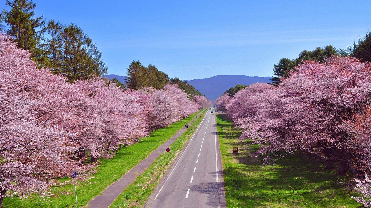【賞櫻名勝百選】北海道 二十間道路櫻花並木道