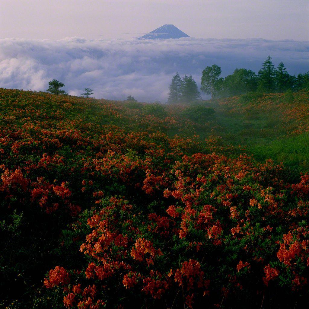 14. 杜鵑花映襯的富士山。 7月。