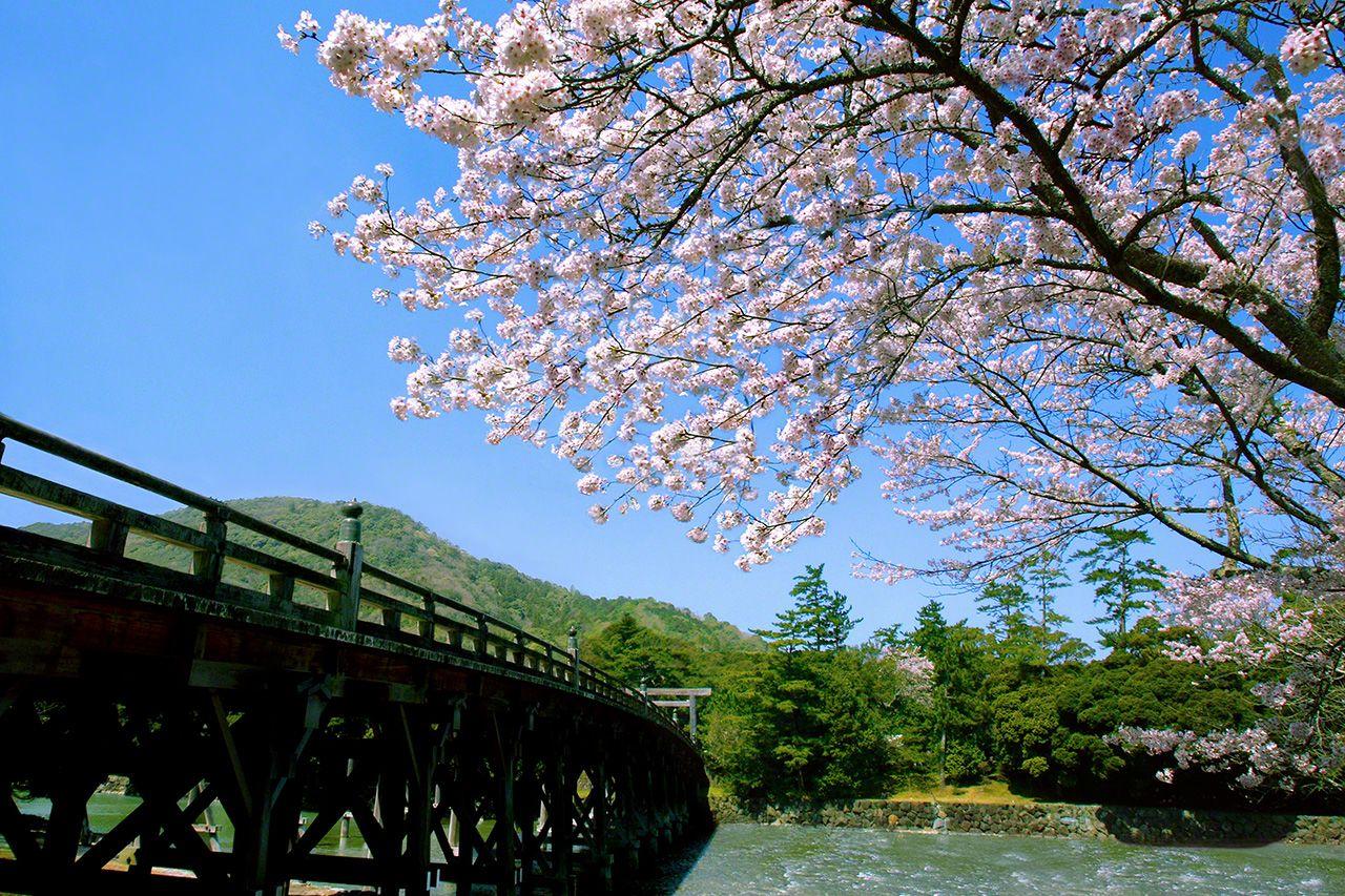 3月28日 和煦的春光中,盛開在宇治橋畔的櫻花