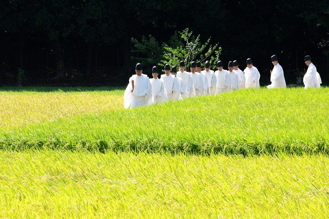 9月5日 在「齋田(栽培祭神用穀物的農田)」拔稻穗的祭祀儀式「拔穗祭」