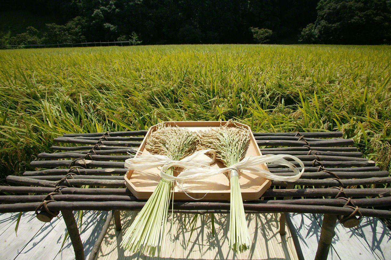 9月5日 「拔穗祭」上,神職人員在稻穗前奏祝詞,感謝神靈賜予五穀豐登