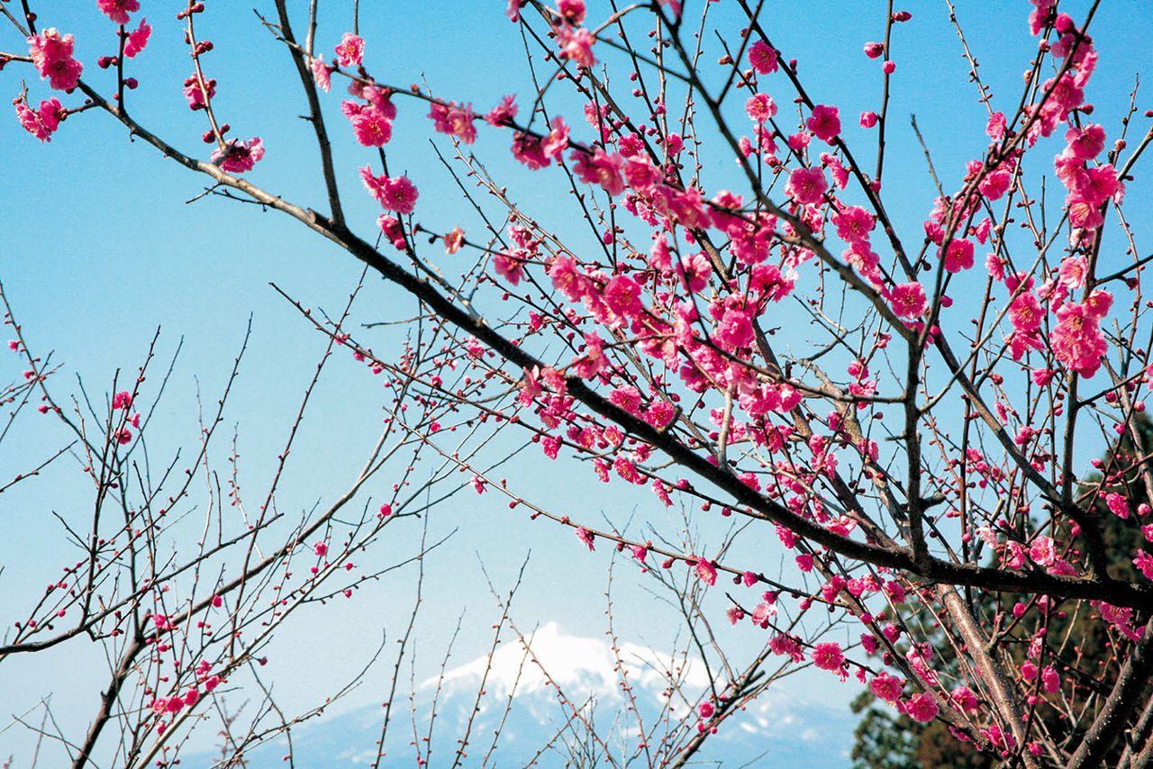 東北の早春を彩る梅の名所:青森・岩手・秋田編