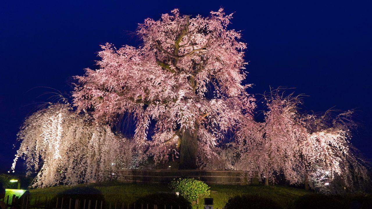"""華麗な""""祇園の夜桜""""で有名な「円山公園」:京都・桜の名所巡り"""