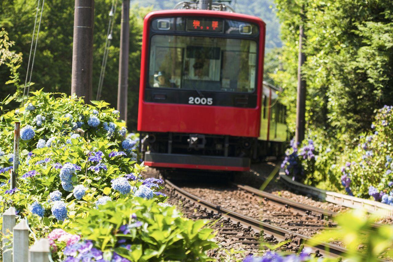アジサイの中を走り抜ける箱根登山電車。2020年は、あじさい電車は走れなかった(2017年7月、撮影:コデラケイ)
