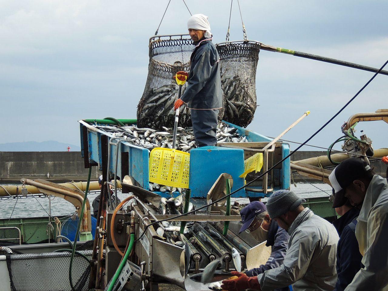 小川港でのサバの水揚げ風景。直後に大きさごとに選別され、運ばれていく
