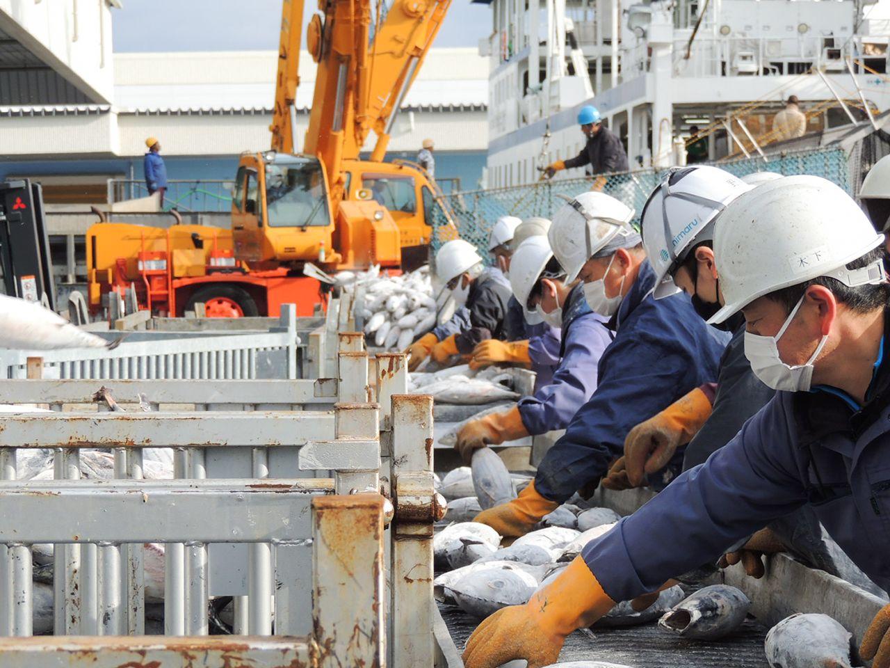 冷凍カツオの選別作業を行う漁港関係者(焼津港)