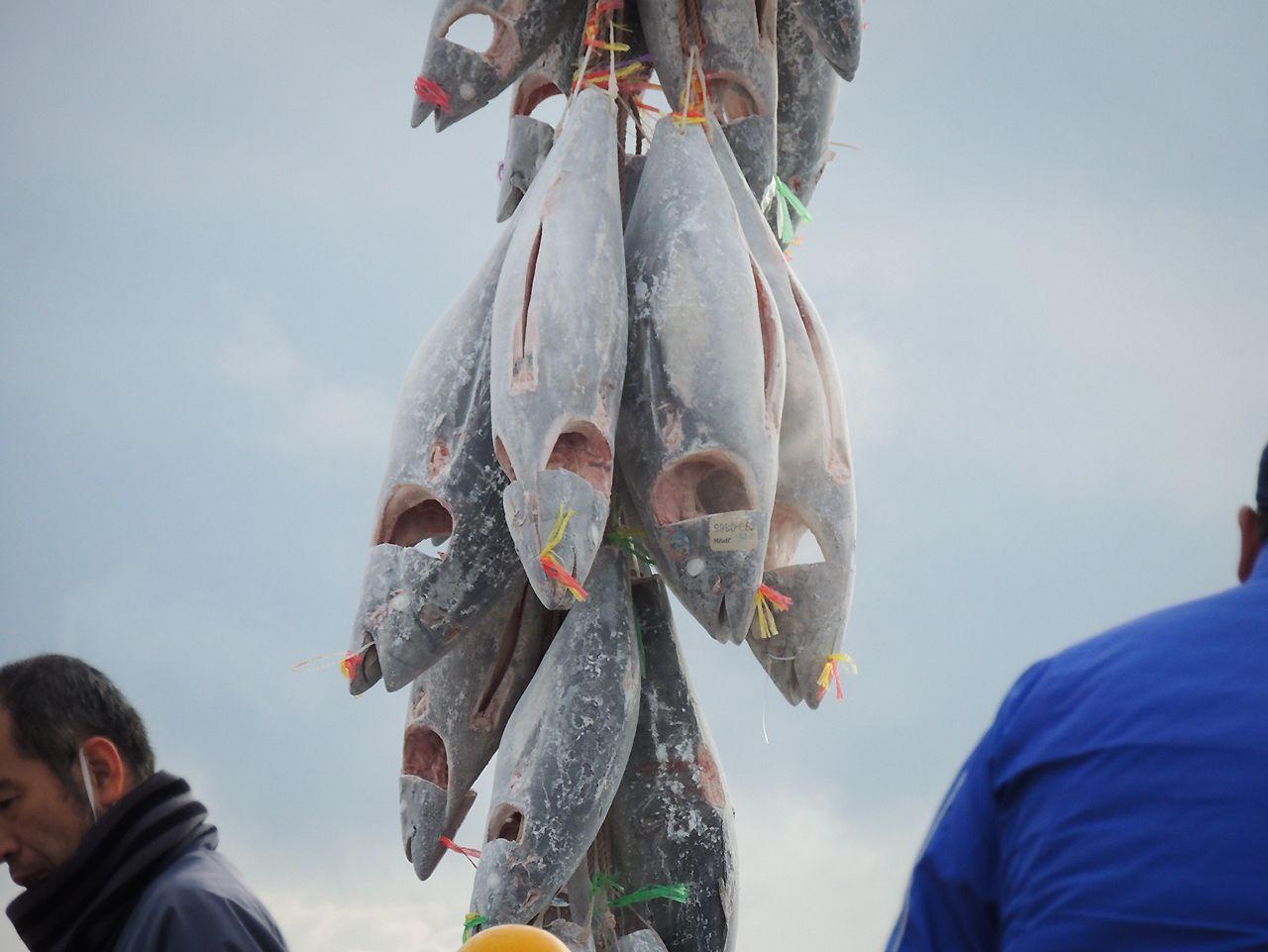 焼津港で漁船から陸揚げされる冷凍のミナミマグロ
