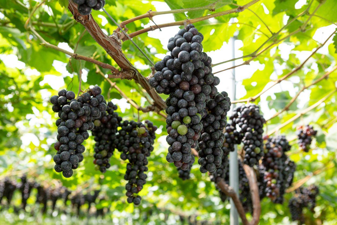 中尾ぶどう園のワイン用ブドウも年々品質が向上しているという 写真提供:郡山市