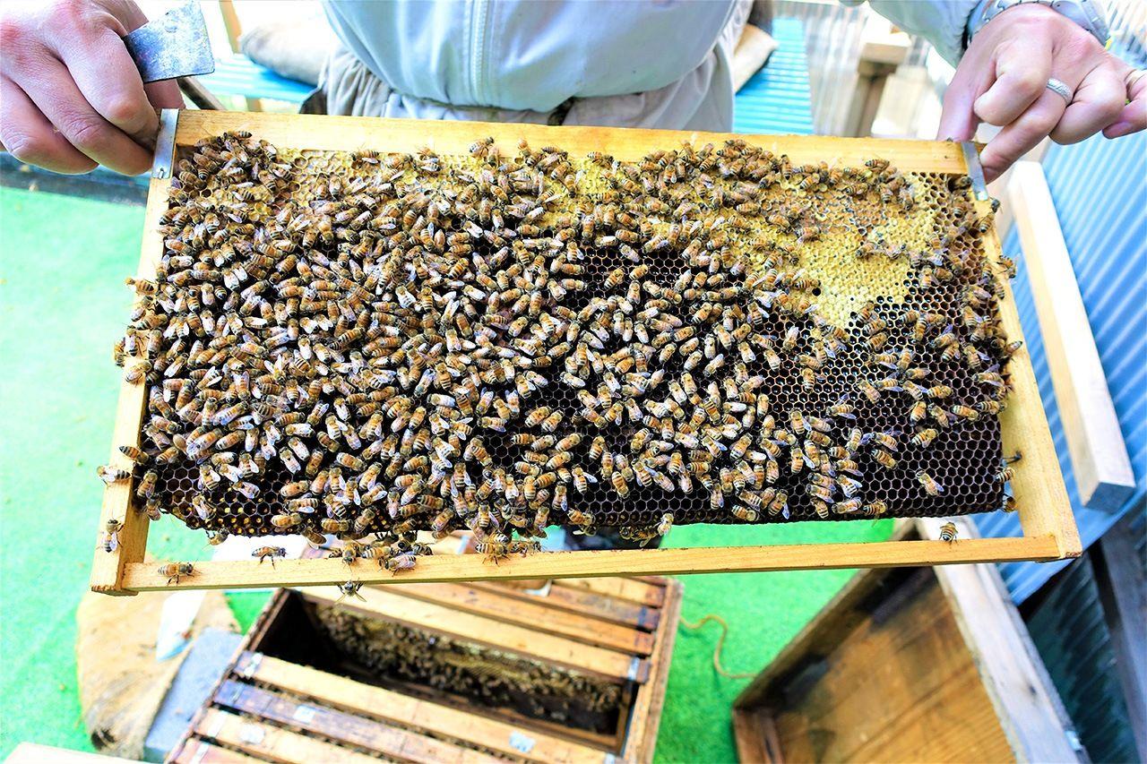 採蜜シーズンは終わったが、冬場でも暖かい日にはミツバチたちは花粉をつけて巣箱に戻ってくる