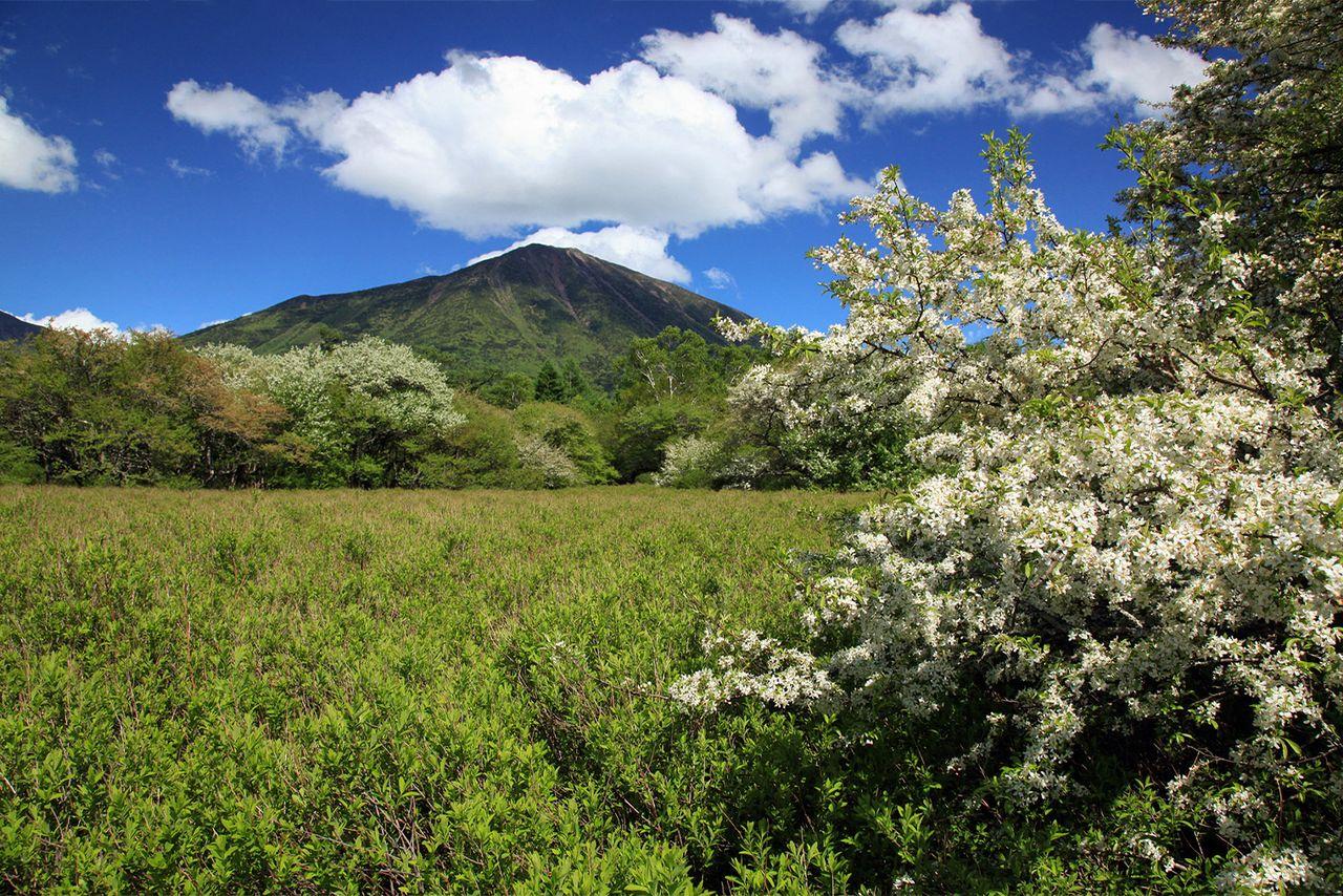 Malus sieboldii из рода Rosaceae, цветущий на болотах Оку-Никко в Сэндзёгахара (фотография Ассоциации туризма и продукции префектуры Тотиги)