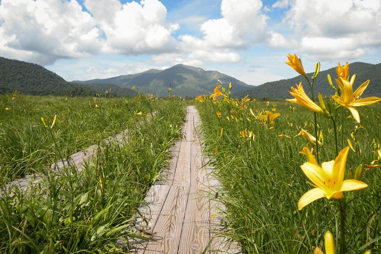 Цветы никкокисугэ и деревянная тропа на болоте (фотография Гугуттогумма)