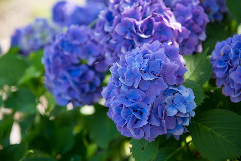 Соцветия гортенции метельчатой