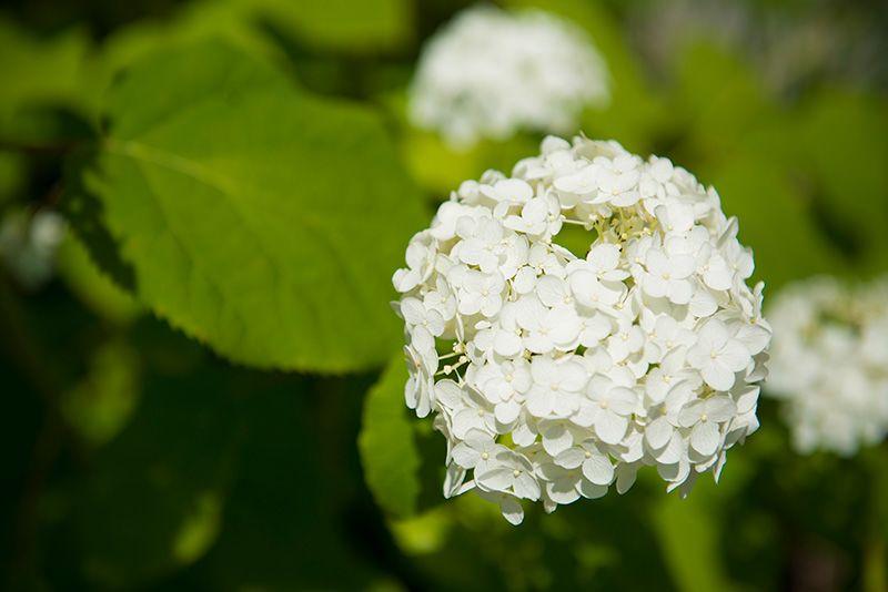 Нежные белые цветы гортенции «аннабель»