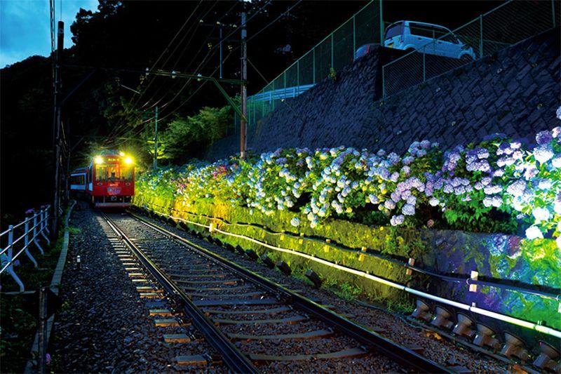 Гортензии ночью (фотография предоставлена Хаконэ-тодзан)