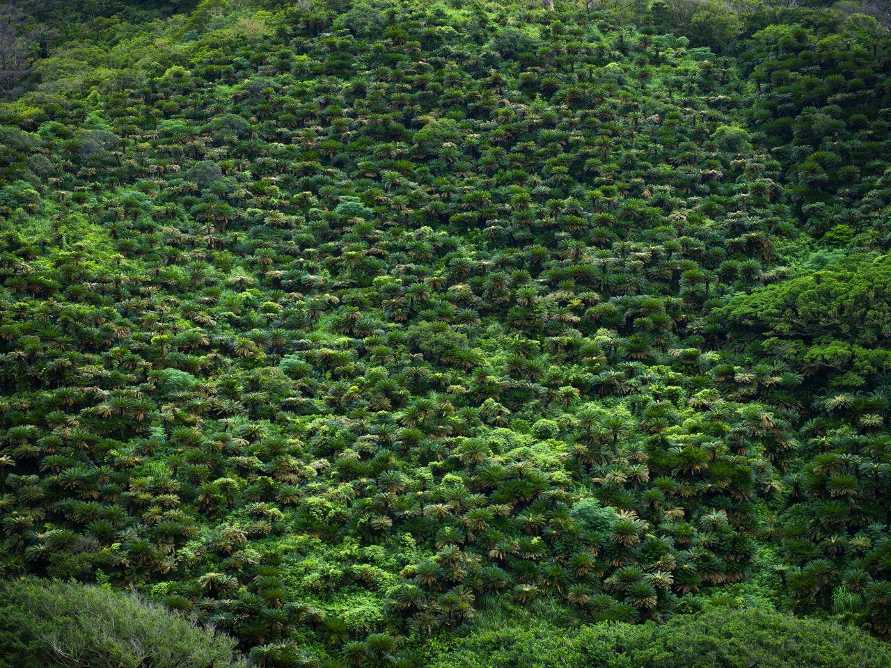 Для японской саговой пальмы нехарактерно образовывать такие густые заросли. Во время войны эти деревья использовались как в пищу, так и в качестве топлива