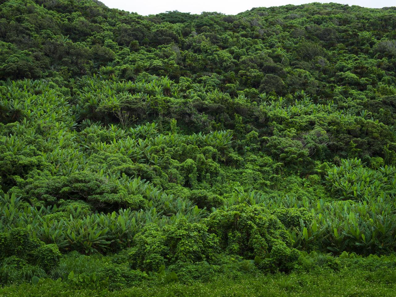 Японские прядильные растения в Анкиябе принадлежат разновидности, именуемой итобасё