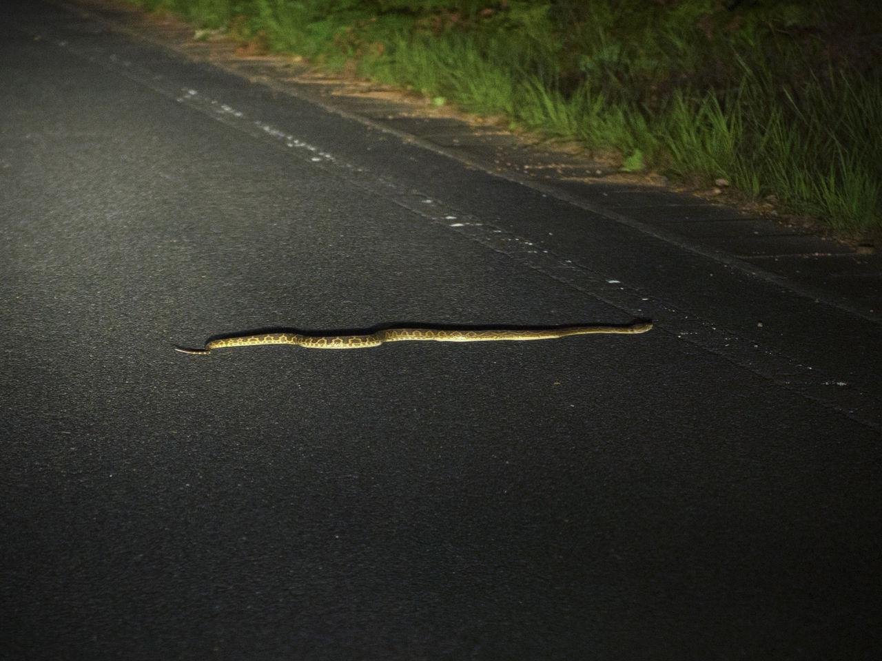 Поскольку змея хабу (желто-зеленая куфия) – ночной вид, при наступлении темноты необходима особая осторожность