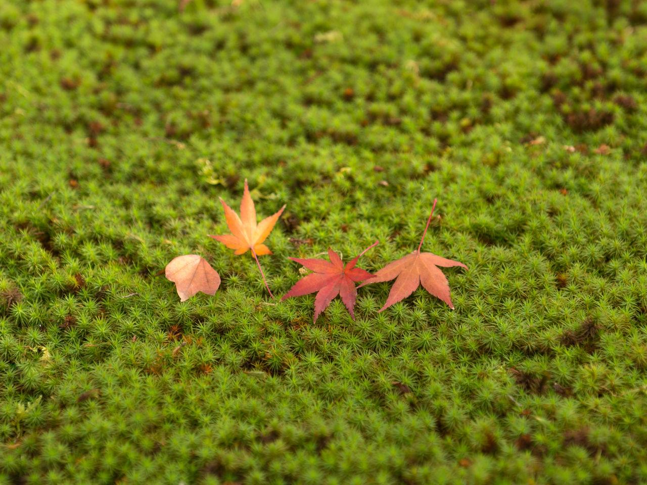 Сады Тофукудзи также известны своими мхами. Опавшие кленовые листья на ковре из мха