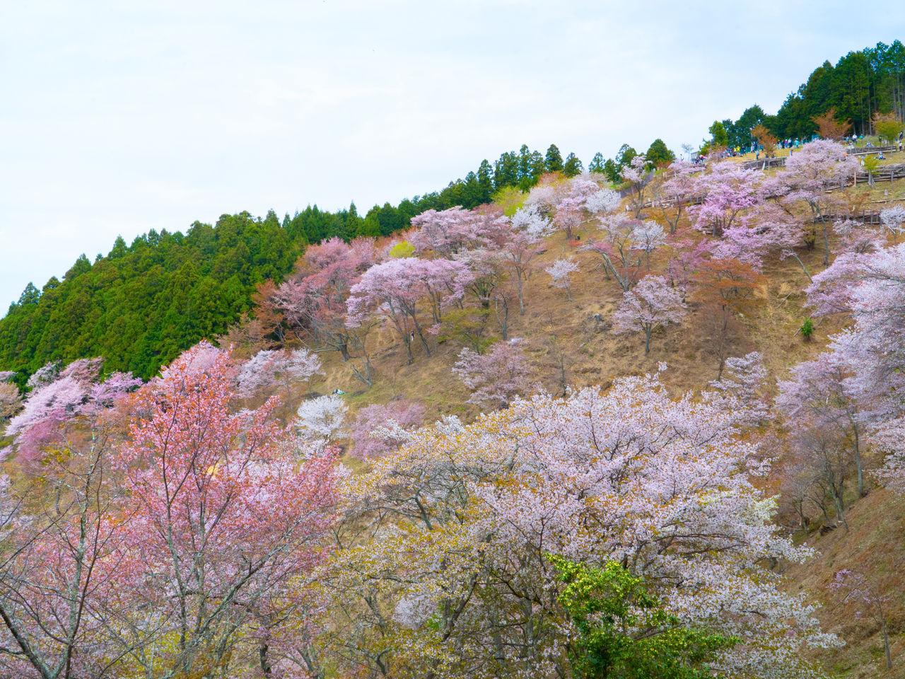 На горе Ёсино цветёт около 30 000 вишнёвых деревьев 200 сортов, преобладает сиро-ямадзакура, разновидность дикой вишни