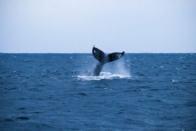 Из наблюдательных пунктов посетители могут увидеть горбатых китов (предоставлено Министерством окружающей среды)