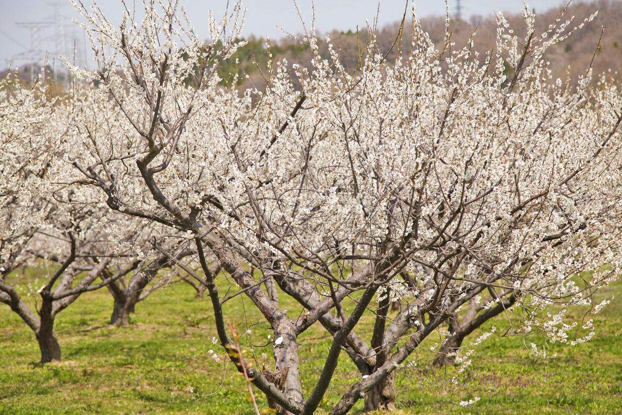 На Сливовой дороге растёт около 12 000 сливовых деревьев (фотография предоставлена Туристической ассоциацией города Коорияма)