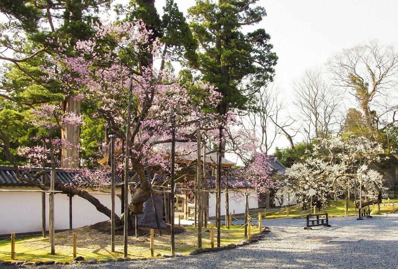 Старые сливы Гарюбай с розовыми и белыми цветами в саду храма (фотография предоставлена Дзуйгандзи)