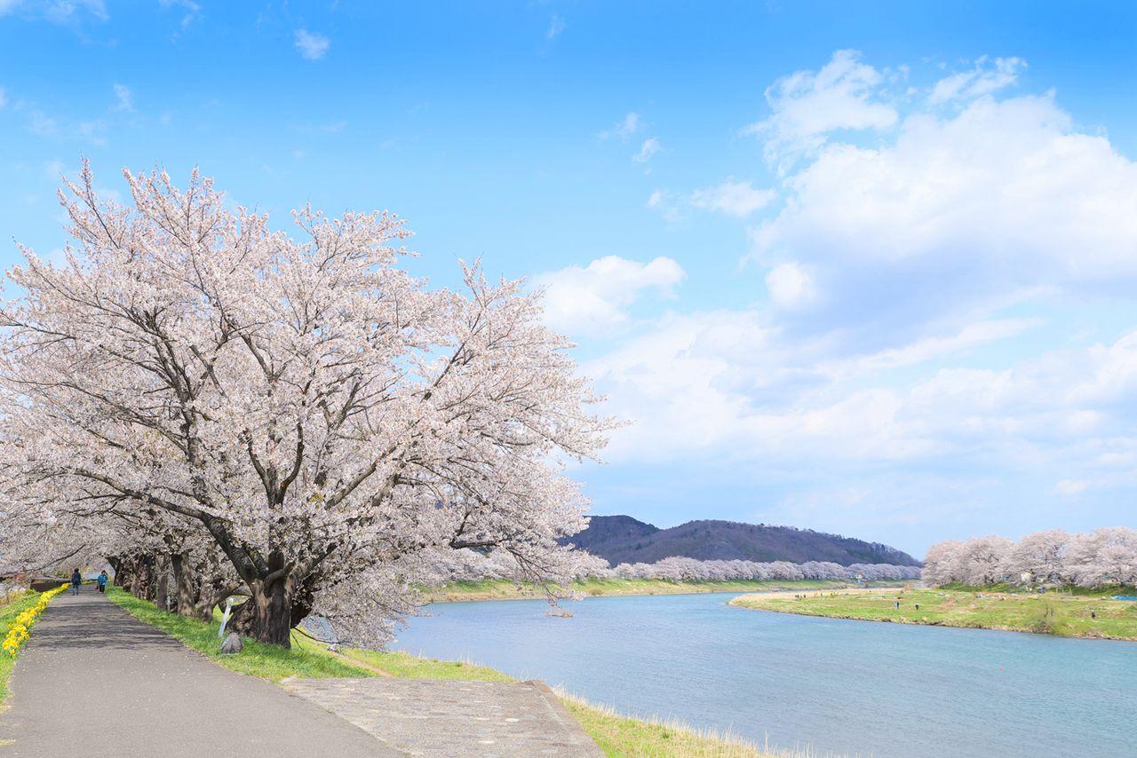 Розовые цветы прекрасно смотрятся на фоне голубого неба (фотография предоставлено Управлением торговли, промышленности и туризма города Огавара)