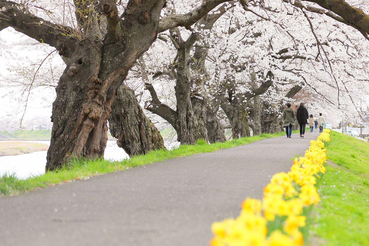 Цветы сакуры красиво контрастируют с нарциссами (фотография предоставлено Управлением торговли, промышленности и туризма города Огавара)