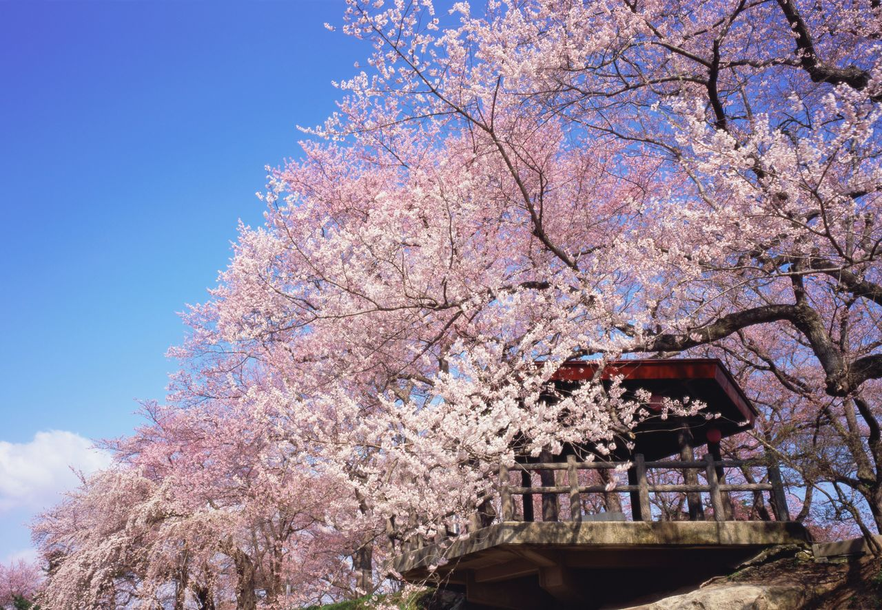 В парке Эбосияма растёт уже второе поколение сакуры известных сортов (фотография предоставлена Туристической ассоциацией города Наньё)
