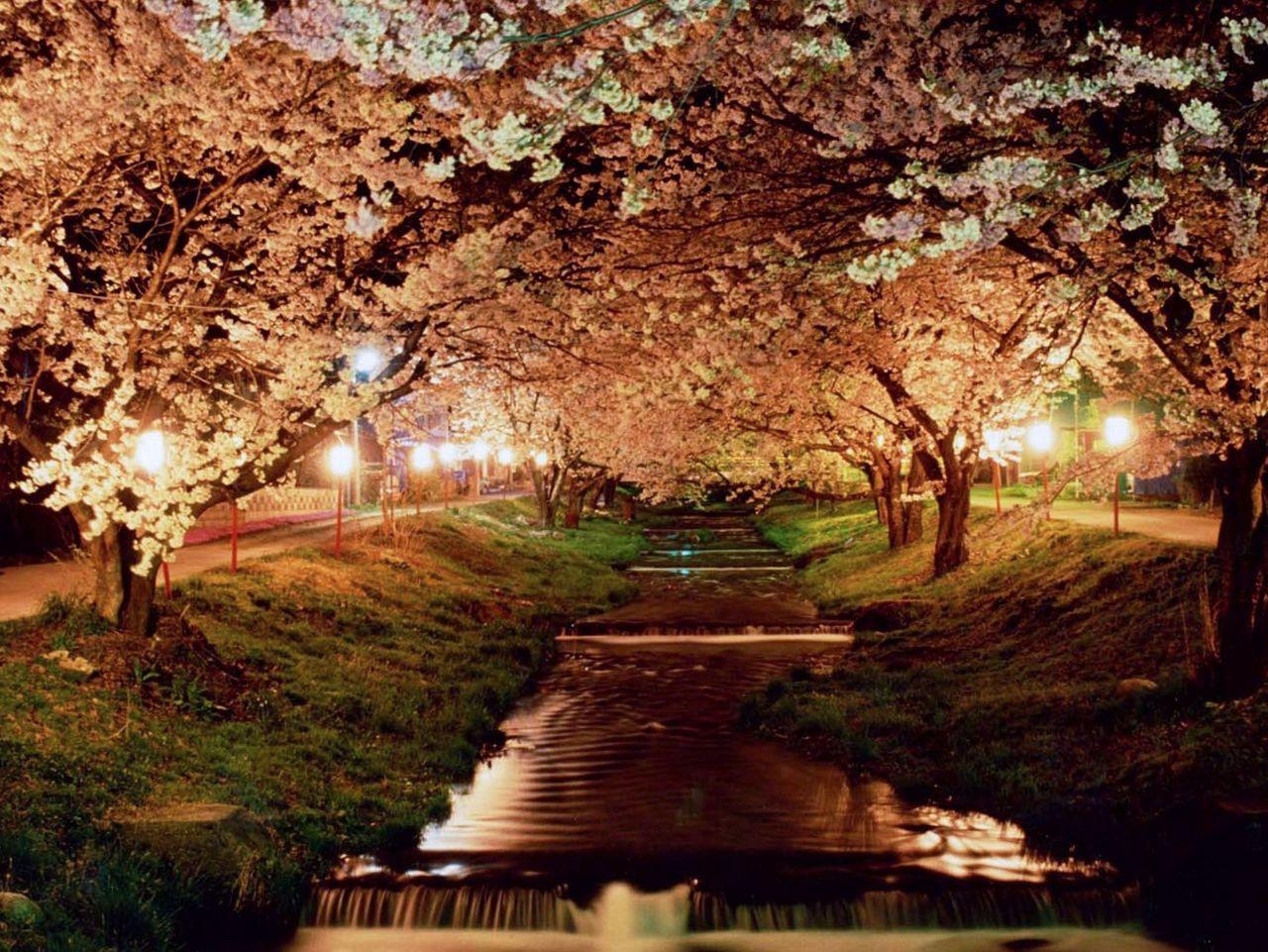 Ночной пейзаж во время цветения (фотография предоставлена отделом туризма, торговли и промышленности города Инавасиро)