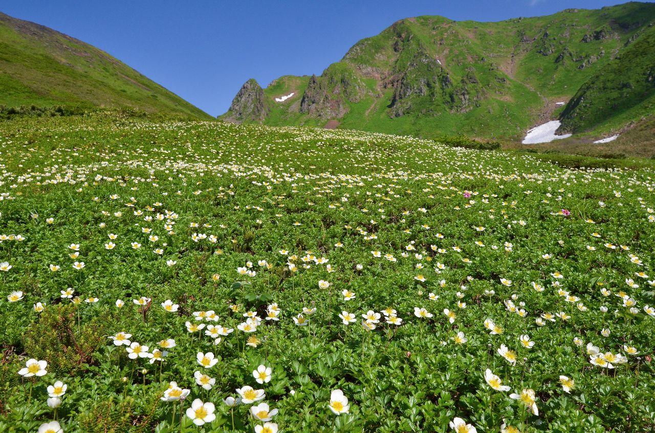 Альпийское растение Fragaria iinuma цветёт у горной тропы на горе Акита Комагатакэ (фотография предоставлена Федерацией туризма префектуры Акита)