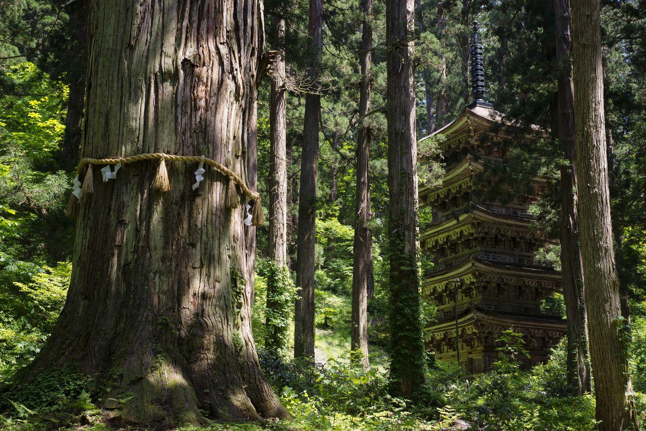 Пятиярусная пагода Хагуросан, национальное достояние, и Криптомерия-старик Дзидзисуги, которой около 1000 лет (фотография предоставлена Ассоциацией туризма и продукции префектуры Ямагата)
