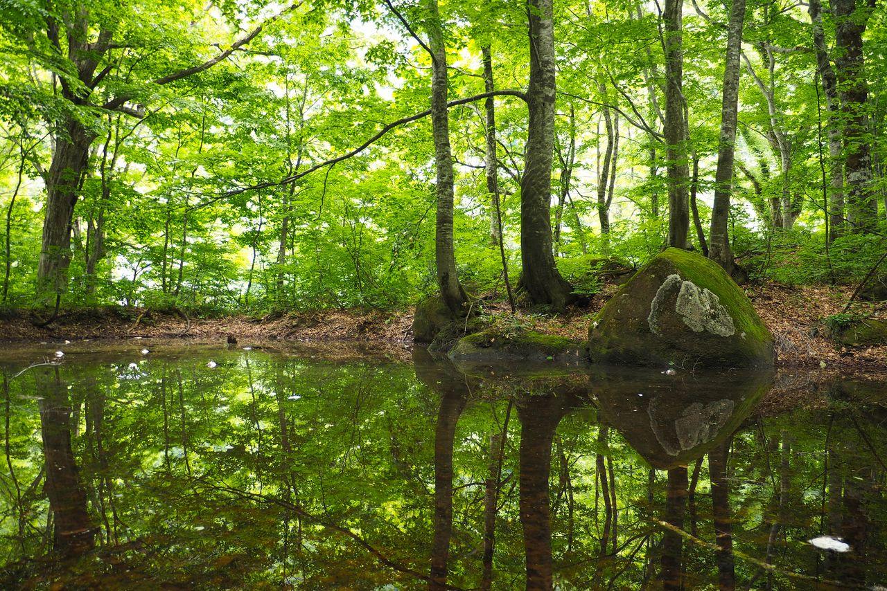 Буковый лес Нукумидайра у подножья горного хребта Иидэ (фотография: PIXTA)