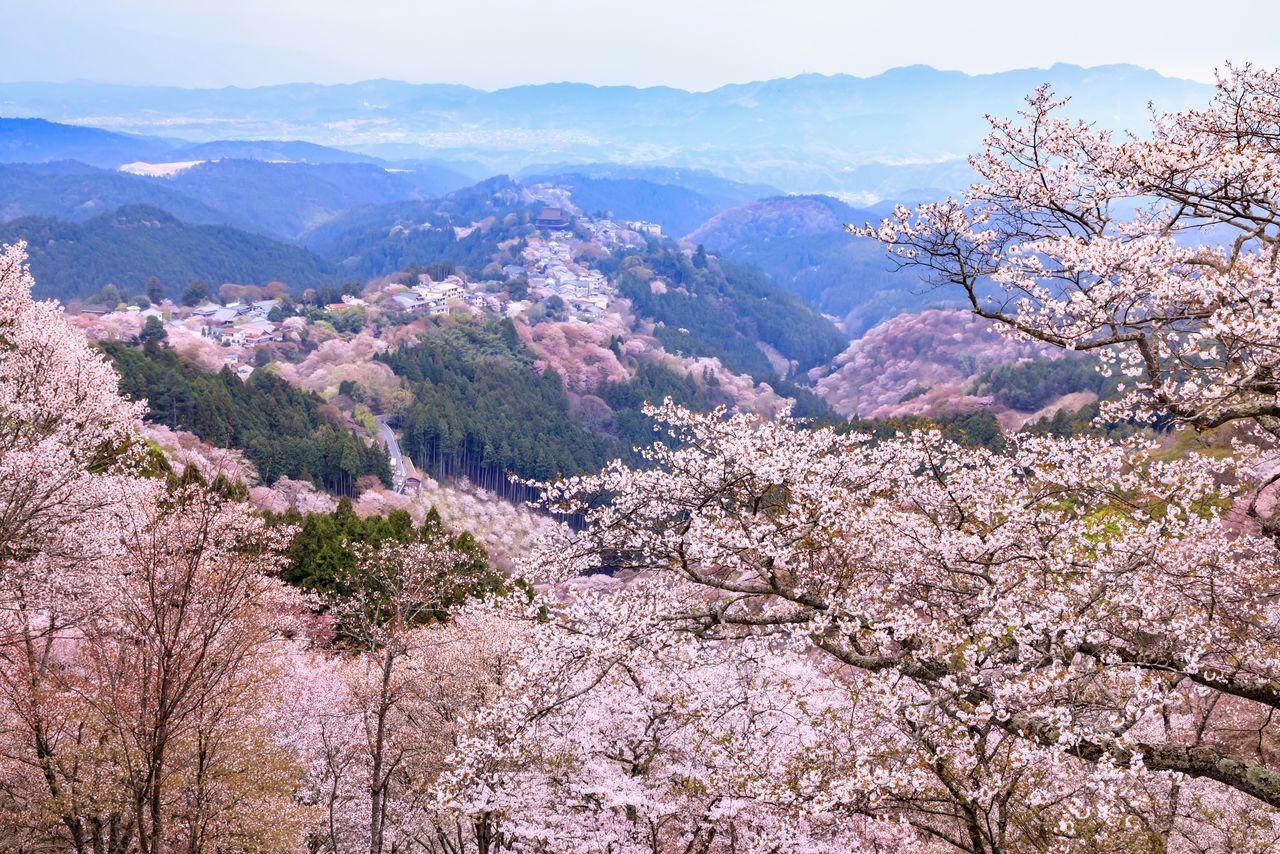 Гора Ёсино и розовые цветы горной сакуры ямадзакура, одновременно видны тысячи деревьев, благодаря чему вид получил своё название итимоку сэмбон (фотография: PIXTA)