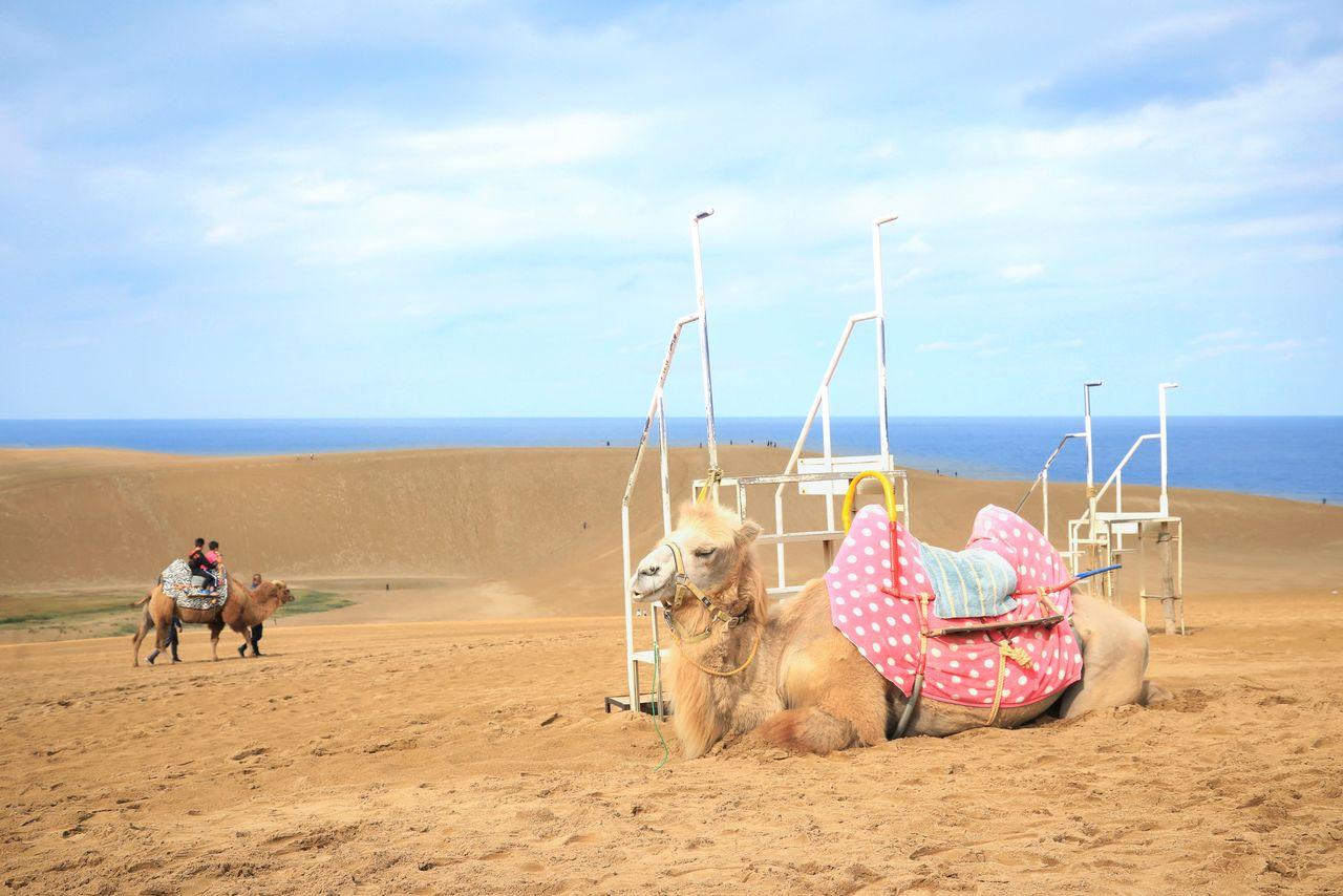 Песчаные дюны Тоттори, где можно покататься на верблюдах (фотография предоставлена префектурой Тоттори)