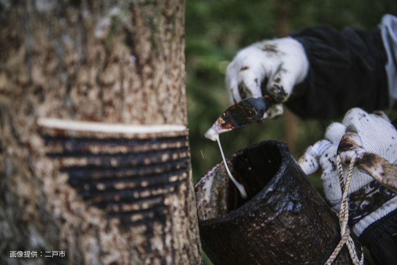 Сбор сока лакового дерева, выделяющегося на месте надрезов (@ город Нинохэ)