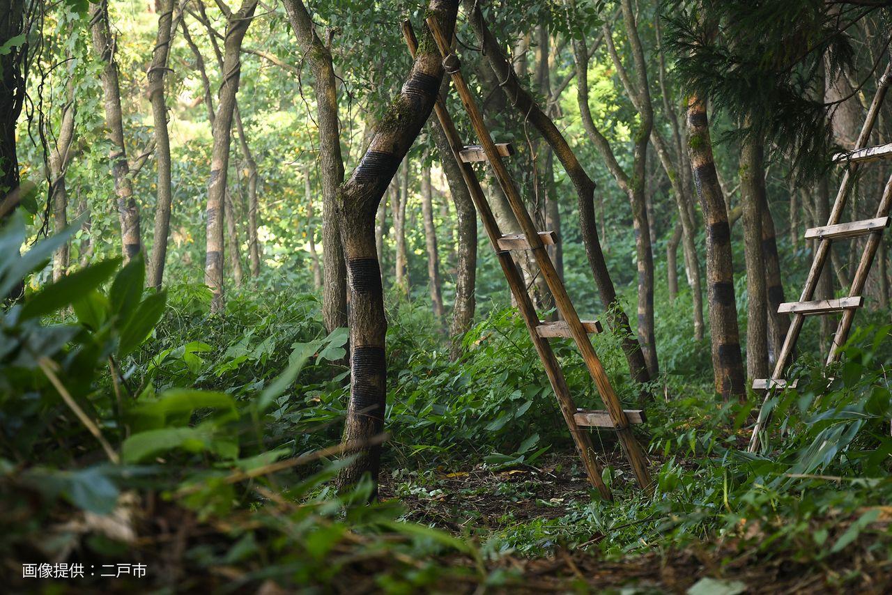 Плантация лаковых деревьев. Каждое дерево вырабатывает всего 200 мл сока в год (@город Нинохэ)