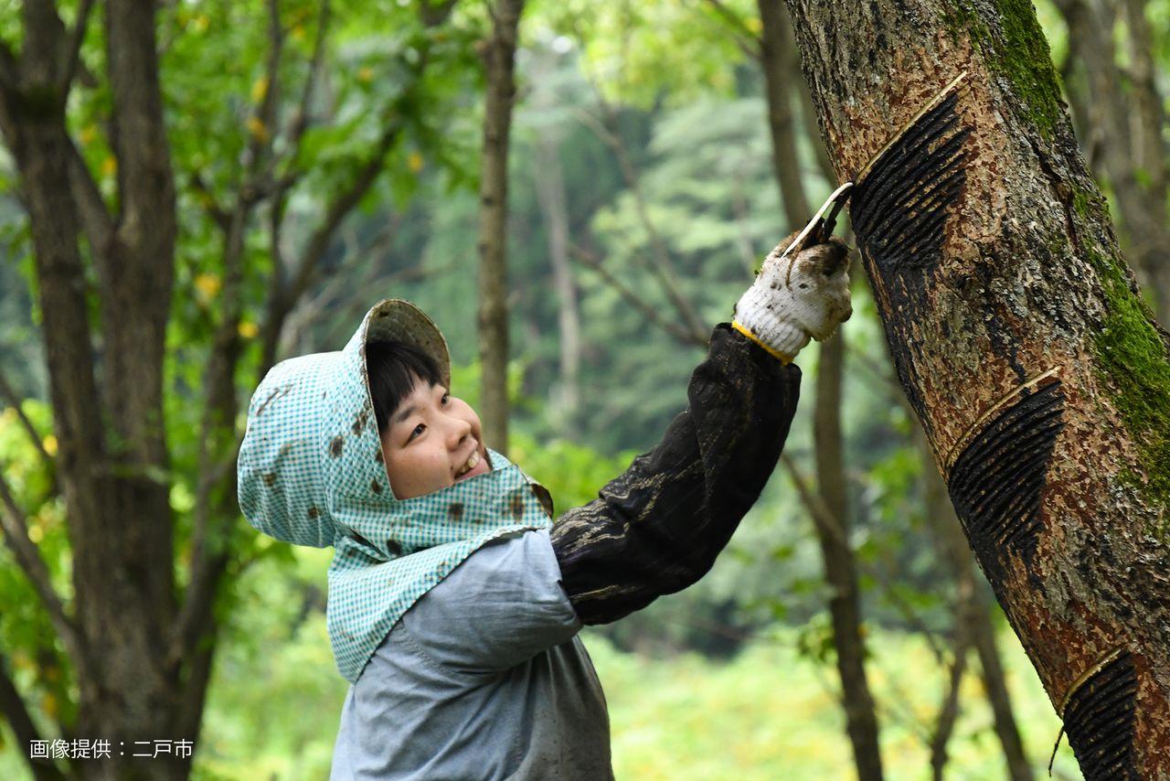 Плантация лаковых деревьев в Дзёбодзи служит площадкой для обучения молодых сборщиков лака (@ город Нинохэ)