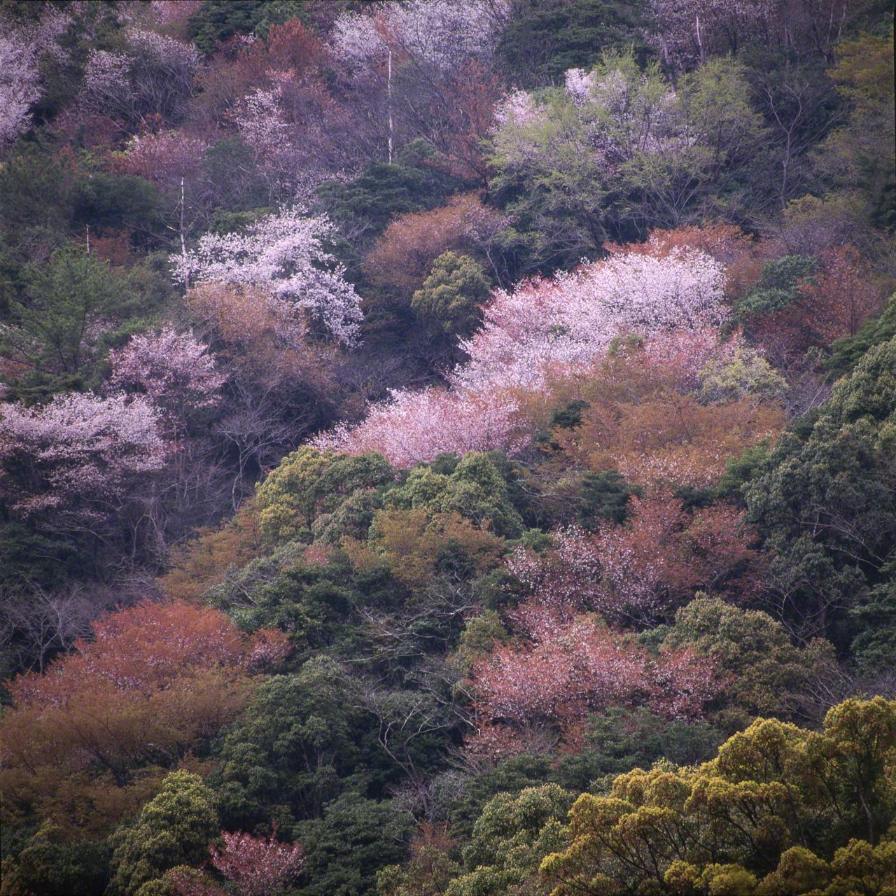 Prunus (или Cerasus) jamasakura (по-японски ямадзакура), горная вишня, цветы которой знаменуют приход весны