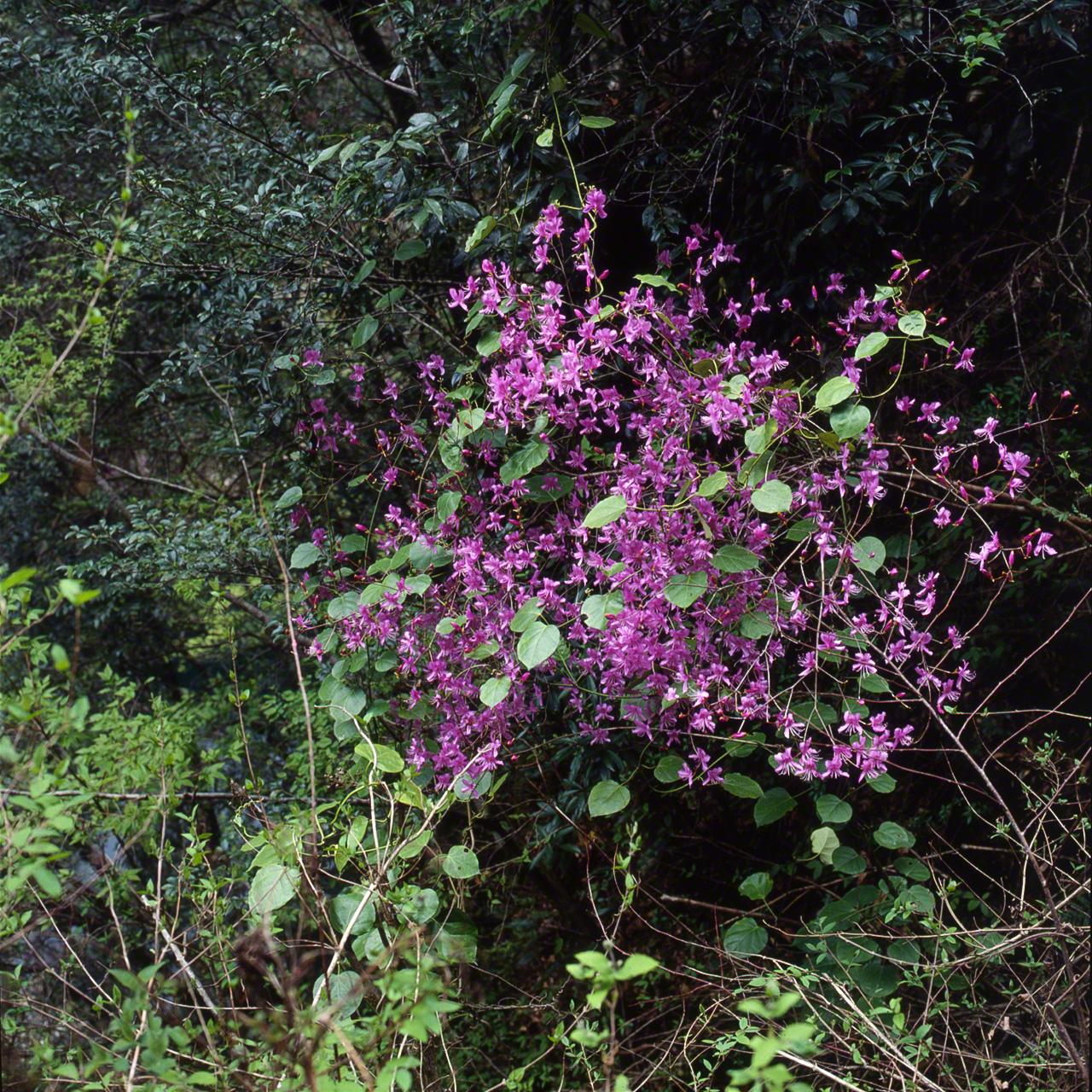 Дикие рододендроны (азалии), вечнозелёная азалия японская. Их можно найти по всей Японии
