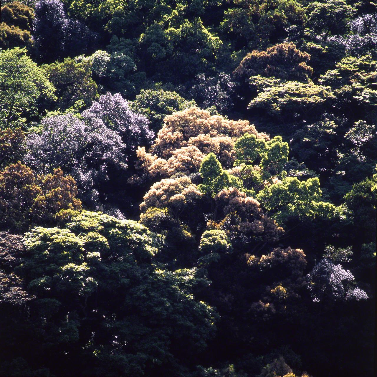 Castanopsis sieboldii цветёт среди молодой листвы