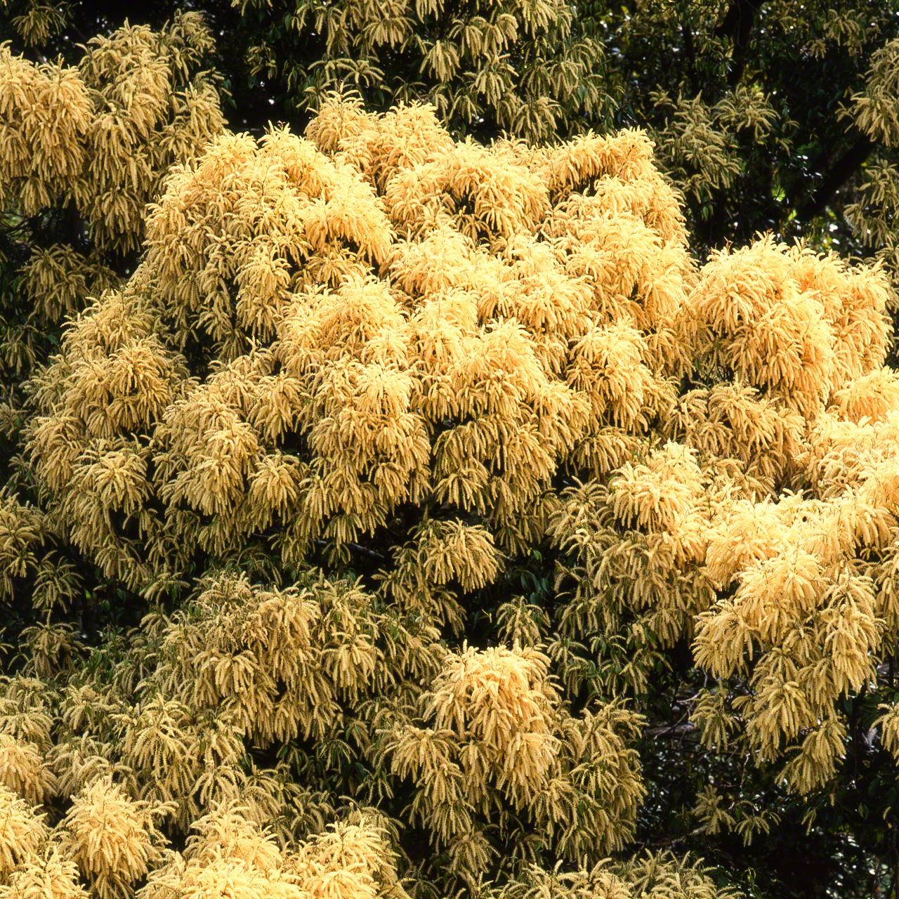 Цветы Castanopsis sieboldii