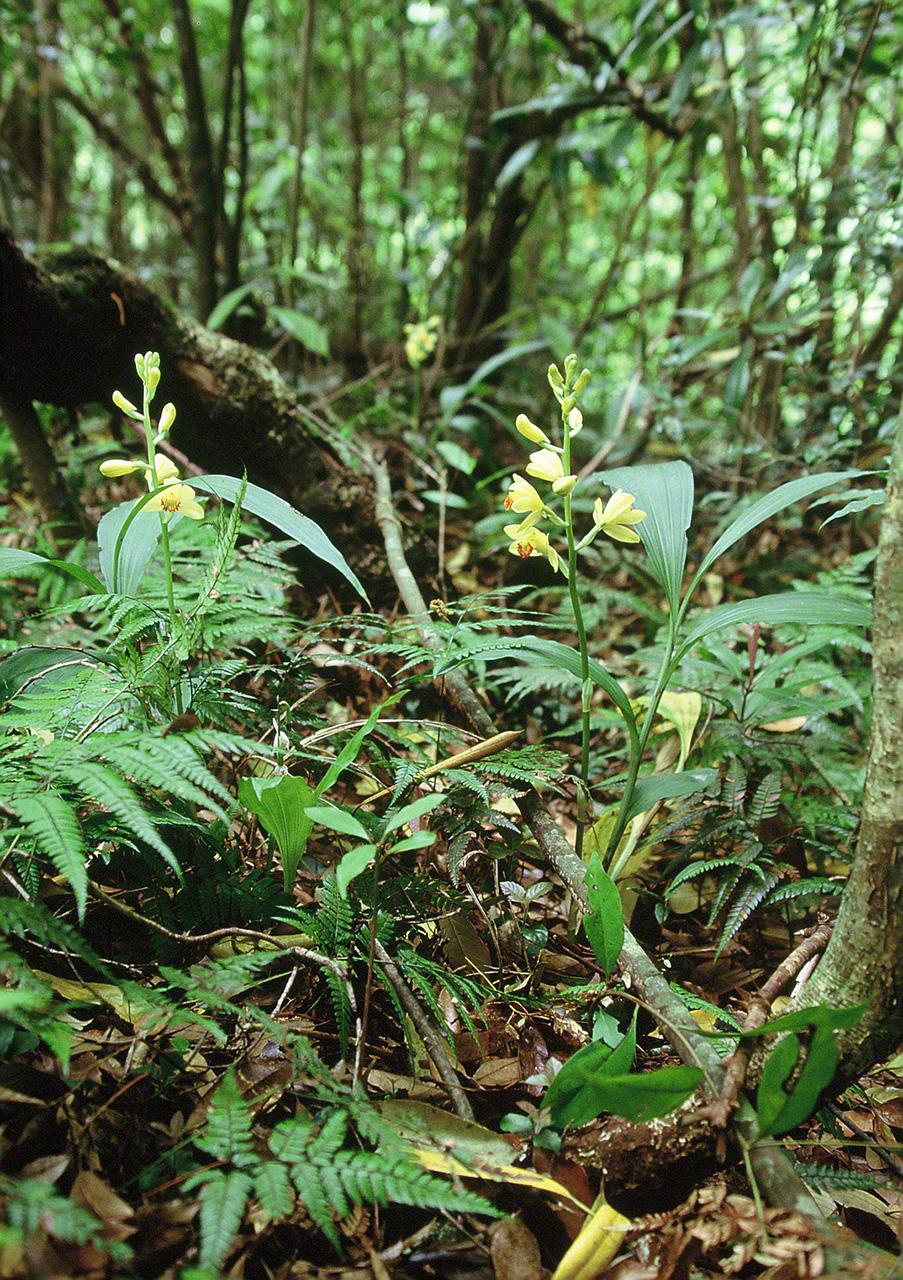 Орхидея Phaius flavus. Это растение почти вымерло из-за сбора людьми и поедания оленями